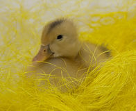 Duck sitting in Easter basket Stock Photo