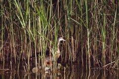 Duck sitting in grass,. Duck sitting in grass- Bird in wildlife Royalty Free Stock Photo