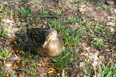 Duck sitting on ground Stock Photo