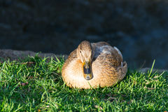 Duck sitting on the meadow beside the stream and resting Stock Images