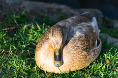 Duck sitting on the meadow beside the stream and resting Stock Image