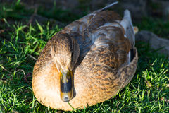 Duck sitting on the meadow beside the stream and resting Stock Photo