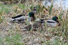 Duck sitting in the nest on the grass at river. Duck and malard  sitting in the nest on the grass at river Stock Photo