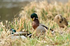 Duck sitting in the nest on the grass at river. Duck and malard  sitting in the nest on the grass at river Royalty Free Stock Images