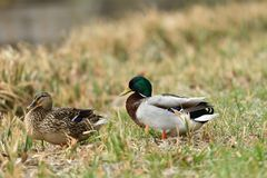 Duck sitting in the nest on the grass at river. Duck and malard  sitting in the nest on the grass at river Royalty Free Stock Photography