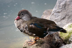 Duck is sitting on a rock Royalty Free Stock Images