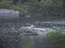 Duck Sitting On a Rock In The Rain stock image