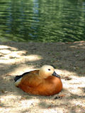 Duck sitting on shore. A close up view of a duck sitting in the sand of shore, next to the water Royalty Free Stock Photos