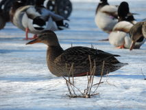 Duck sitting on the snow Stock Photo