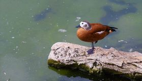Duck sitting on a tree trunk royalty free stock images