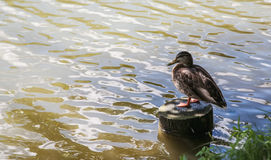 Duck sitting on a wooden column in water. Text space, selective focus Royalty Free Stock Photos