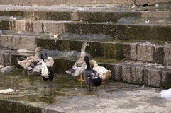 Duck Sixteen Fotos de Stock Royalty Free
