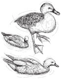 Duck sketches Stock Images
