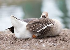 Duck sleeping in the park on the nature.  Royalty Free Stock Images