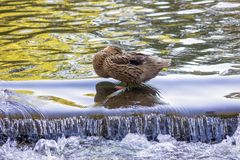 A duck sleeping on the threshold of the water. Female Anchovy Anas platyrhynchos inhabits a variety of wetlands, river springs, freshwater, brackish and Royalty Free Stock Photography