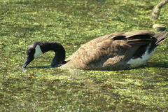 Goose in Slime. A goose swimming and drinking from a lake of algae-covered water, thick green slime on the surface of the water stock photography