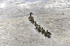Duck with small ducklings Royalty Free Stock Images