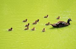 Duck with small ducklings. Stock Image