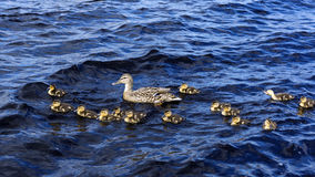 Duck with small ducklings Stock Photography