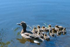 Duck with small ducklings in the pond. On a sunny summer day Stock Photo