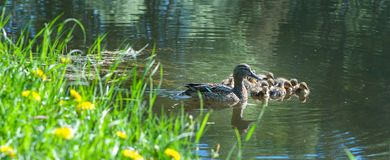 Duck with small ducklings in the pond. On a sunny summer day Stock Images