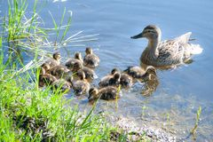Duck with small ducklings in the pond. On a sunny summer day Royalty Free Stock Image