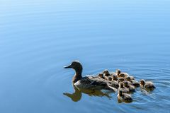 Duck with small ducklings in the pond. On a sunny summer day Stock Photography