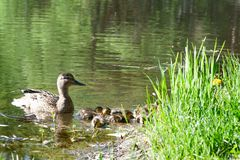 Duck with small ducklings in the pond. On a sunny summer day Stock Image