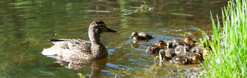 Duck with small ducklings in the pond. On a sunny summer day Stock Photos