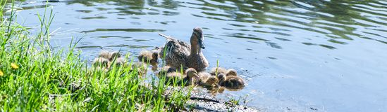 Duck with small ducklings in the pond. On a sunny summer day Royalty Free Stock Photo