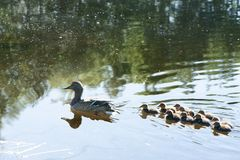 Duck with small ducklings in the pond. On a sunny summer day Royalty Free Stock Images