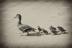 Duck with small ducklings on the street. The duck leads the small ducklings along the city road stock photography