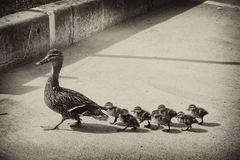 Duck with small ducklings on the street. The duck leads the small ducklings along the city road stock image