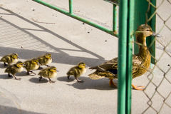 Duck with small ducklings on the street. The duck leads the small ducklings along the city road royalty free stock images