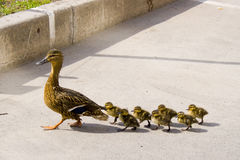 Duck with small ducklings on the street Royalty Free Stock Images