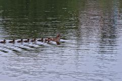 A duck with small ducklings swims on the water. Duck with small ducklings swims along the water of the reservoir Stock Photo