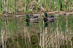 Duck Royalty Free Stock Photos