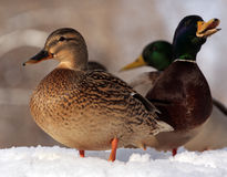 Duck on snow. Two ducks on white snow Stock Image