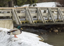 Duck in Snow by Bridge Royalty Free Stock Photo