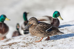Duck on snow. Close up in winter Stock Image