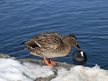 Duck on the snow coast the lake Bled Royalty Free Stock Photos