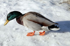 Duck on the snow. Duck on snow coast the lake Bled, selective focus Stock Photos