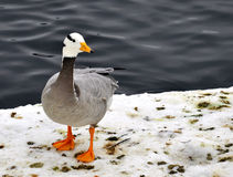 Duck. On the snow by the lake royalty free stock image
