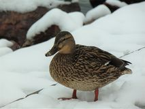 Duck in the snow, at Lake Balaton royalty free stock image