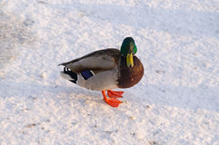 Duck on the snow Stock Photo