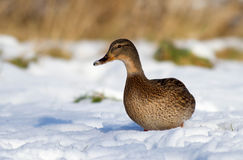 Duck in the snow Royalty Free Stock Image