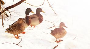 Duck on the snow near the river. Toned Royalty Free Stock Image