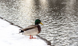Duck on snow Royalty Free Stock Photos