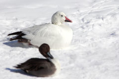 Duck in snow. Royalty Free Stock Images