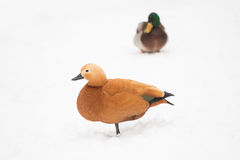Duck in the snow Royalty Free Stock Photos